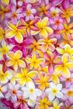 Colorful Plumeria Blossoms, Maui, Hawaii Reproduction photographique par Ron Dahlquist