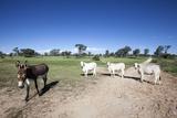 Donkey and Cows Stampa fotografica di Richard Du Toit