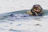 Southern Sea Otter Eats a Clam Reproduction photographique par Hal Beral