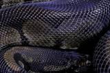 Python Regius F. Melanistic (Royal Python, Ball Python) Photographic Print by Paul Starosta