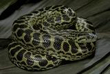 Eunectes Notaeus (Yellow Anaconda) Fotografisk tryk af Paul Starosta