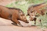 Fighting Warthogs Lámina fotográfica por Richard Du Toit