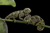 Chamaeleo Johnstoni (Johnston's Chameleon) - Young Fotografisk tryk af Paul Starosta