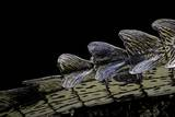 Gavialis Gangeticus (Gharial) - Tail Fotografisk tryk af Paul Starosta