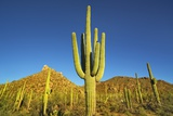 Saguaro Fotografie-Druck von Frank Krahmer