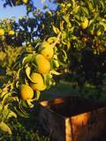 Anjou Pears on Tree Branch Photographic Print by Steve Terrill