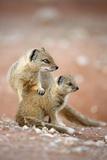 Yellow Mongoose, South Africa Lámina fotográfica por Richard Du Toit