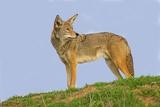 Coyote Fotografie-Druck von Hal Beral