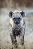 Spotted Hyena, South Africa Fotografisk trykk av Richard Du Toit
