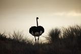 Ostrich Silhouette, South Africa Reproduction photographique par Richard Du Toit