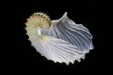 Argonauta Cornuta (Argonaute) Fotoprint van Paul Starosta
