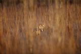Blackbacked Jackal, South Africa Lámina fotográfica por Richard Du Toit