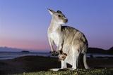 Eastern Gray Kangaroo Fotografisk tryk af Theo Allofs