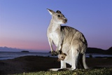 Eastern Gray Kangaroo Photographic Print by Theo Allofs
