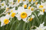 Flowerdrift Narcissus Reproduction photographique par Mark Bolton