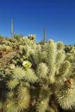 Cholla Cactus in Bloom Fotografie-Druck von Frank Krahmer