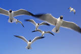 Laughing Gulls Flock in Flight Reproduction photographique par Momatiuk - Eastcott