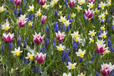 Mixed Tulips and Grape Hyacinth Fotoprint av Mark Bolton