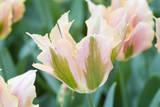 Artist Tulips Reproduction photographique par Mark Bolton
