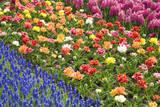Rows of Flowers in Keukenhof Gardens Reproduction photographique par Mark Bolton