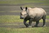 White Rhinoceros Walking Lámina fotográfica por Momatiuk - Eastcott