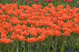 Atje Keulen Tulips Fotoprint av Mark Bolton