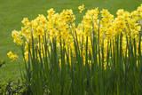 Yellow Martinette Narcissus Reproduction photographique par Mark Bolton