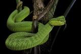 Trimeresurus Albolabris (White-Lipped Tree Viper) Fotografie-Druck von Paul Starosta