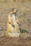 Black Tailed Prairie Dog Lámina fotográfica por Momatiuk - Eastcott
