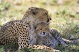 Cheetah Mother and Cub Resting in Shade Together Lámina fotográfica por Momatiuk - Eastcott