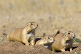 Black Tailed Prairie Dogs Fotografisk tryk af Momatiuk - Eastcott