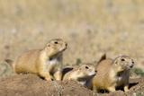 Black Tailed Prairie Dogs Lámina fotográfica por Momatiuk - Eastcott