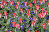 Variegated Plaisir Tulips and Blue Star Anemone Fotoprint av Mark Bolton