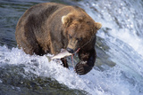 Brown (Grizzly) Bear Catching Fish in Alaska Photographic Print by Momatiuk - Eastcott
