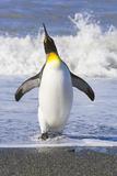 King Penguin Walking out of Sea Lámina fotográfica por Momatiuk - Eastcott