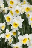 Orange Ice Follies Narcissus Reproduction photographique par Mark Bolton