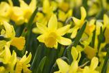 February Gold Narcissus Fotoprint av Mark Bolton