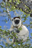 Verreaux's Sifaka Photographic Print by Martin Harvey