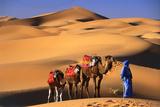 Camel in the Desert Fotografisk tryk af Peter Adams