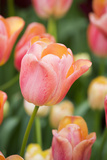 Tequila Sunrise Tulips Fotoprint av Mark Bolton