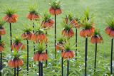 Orange Mozart Fritillaria Imperialis Reproduction photographique par Mark Bolton