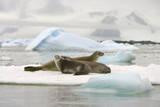 Crabeater Seals Resting on Ice Floe Fotografie-Druck von Momatiuk - Eastcott