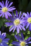 Blue Star Anemone Reproduction photographique par Mark Bolton