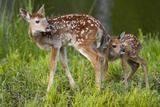 Two White-Tailed Deer Fawns Impressão fotográfica por W. Perry Conway