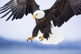Bald Eagle Landing Lámina fotográfica por Frank Lukasseck