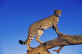 Cheetah Fotografisk tryk af Martin Harvey