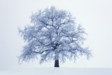 Winter Landscape with Snow Covered Oak Fotografie-Druck von Frank Krahmer