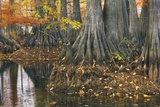 Close-Up of Cypress Tree Trunks, Bayou, New Orleans, Louisiana, USA Fotografie-Druck von Frank Krahmer