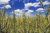 Wheat Field Fotografie-Druck von Frank Krahmer