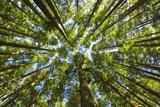 Old Growth Cedar, Hemlock, Fir and Sitka Spruce Forest in Fall Fotografie-Druck von Momatiuk - Eastcott